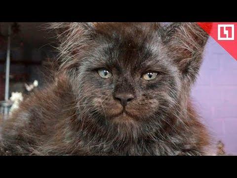 Вопрос: Почему кот любит лезть мордочкой в лицо?