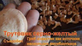 Трутовик серно-желтый гриб сибирь тайга Лекарственные растения полей и лесов тихая охота грибы сбор