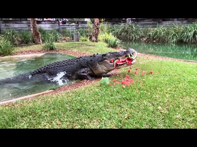 Hungry, Cranky Croc Destroys Watermelon With Powerful Jaw