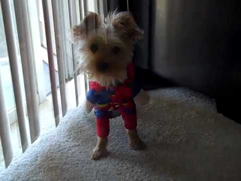 Cute Yorkie In Halloween Costume Youtube