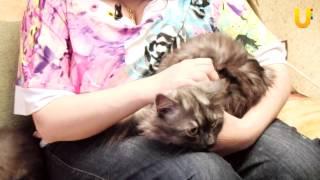 Глазами животных, выпуск 62. Невские и сибирские маскарадные кошки, кошка Мальва.