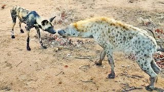 Wild Dogs & Hyenas Make Friends After Fighting