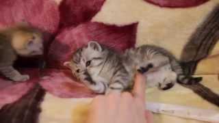 Шотландские котята Харьков