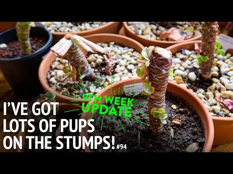 #94 When should you separate pups from the main stem?