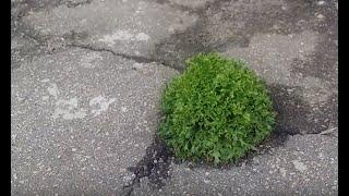 Салат растет на асфальте.