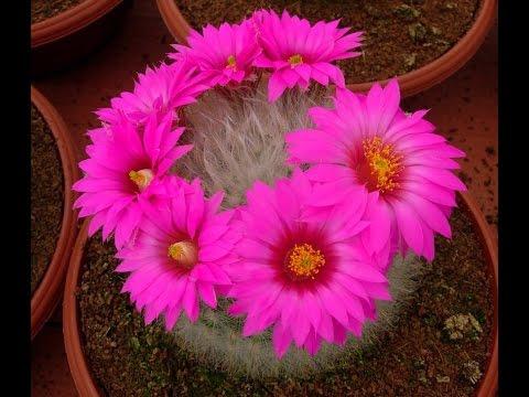 Эти удивительные кактусы.Цветущие кактусы