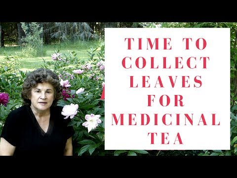 Time To Collect Leaves for Medicinal Tea