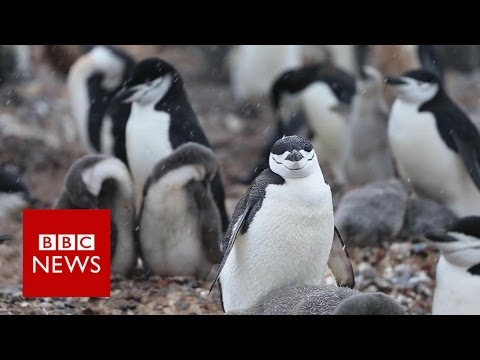 A year in the life of a penguin - BBC News