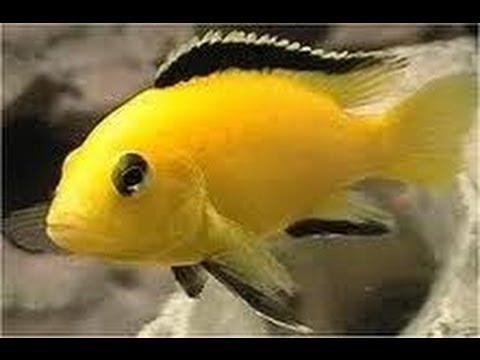 Electric Yellow Lab Cichlid