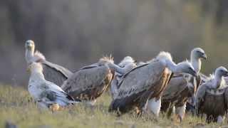 Гриф vulture- король падальщиков
