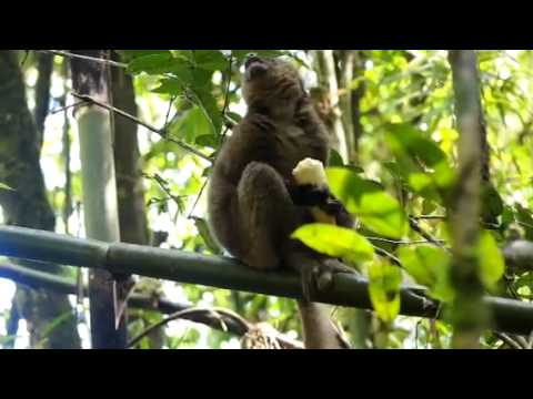 Greater golden bamboo lemur