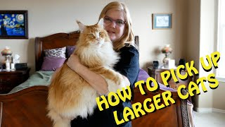 How to pick up a Maine Coon and Other Larger Cats