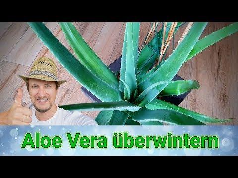 Aloe Vera überwintern 🔴 Meine Tipps