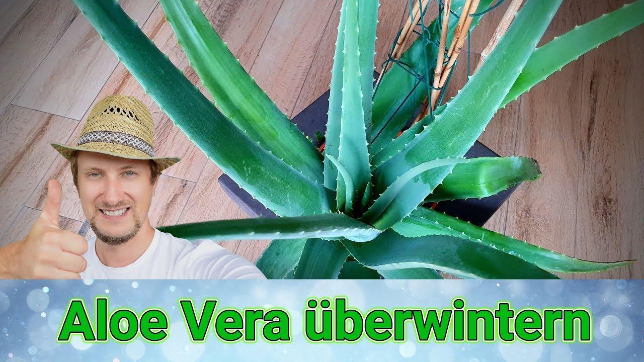 Wie kann ich Aloe verwenden, um Gewicht zu verlieren