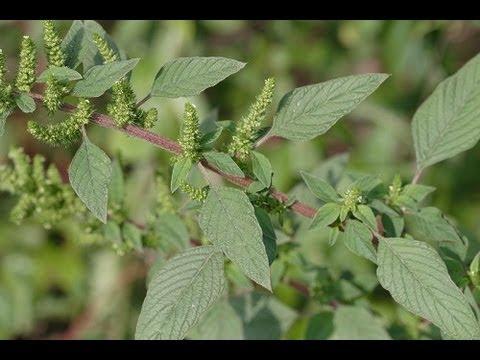 Useful Plant : Amaranth - YouTube