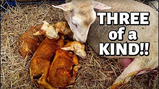 7 DAYS OF LAMBING: DAY FOUR (109 LAMBS in 4 DAYS!😱 ) Vlog 350