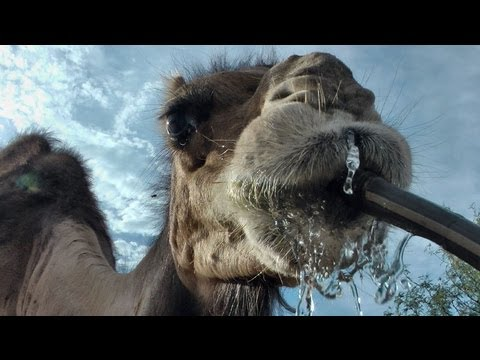 Camel drinks from the hose