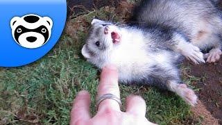 Adorable Ferrets! A Big Mosstake.