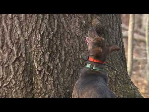 Squirrel Hunting With A Dog