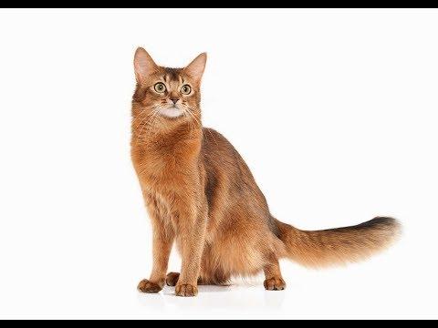 Information Regarding the Somali Cat | Somali Cat
