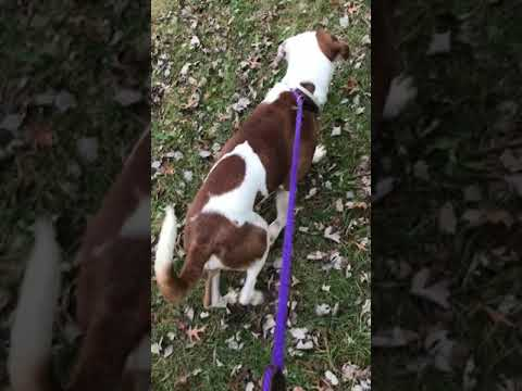 Meet Spencer a Spaniel Welsh Springer currently available for adoption at Petango.com! 11/16/2018 2