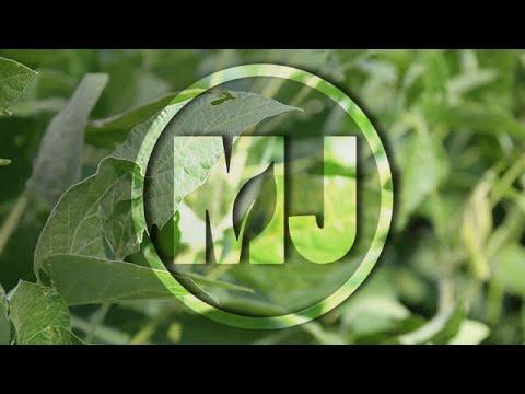 Palmer Amaranth Management in Balance Bean Soybeans - Amit Jhala - August 17, 2018