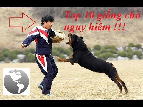 Top 10 loài chó nguy hiểm nhất !!! (Top 10 most dog dangerous breeds) || Cuộc sống quanh ta