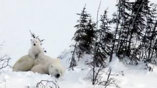 Polar Bear Cubs in Big Trouble