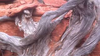 The Mystical Spiral Trees of Sedona- Growing Trees From Seed- S01:E05 Vortex