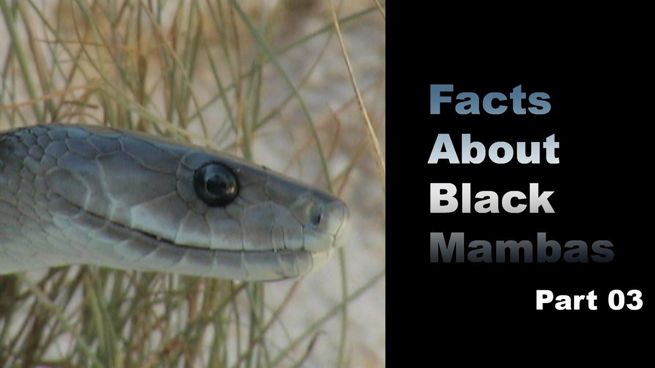 mamba facts black
