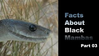 Facts About Black Mambas 03