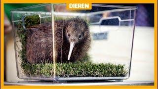 Eerste zeldzame kiwi geboren in Nederland