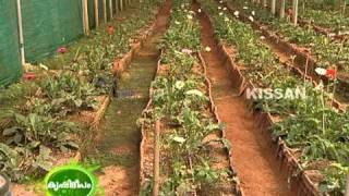 Cultivation practices of Gerbera in a poly house as practised by a farmer at Perinjanam,Thrissur