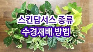 스킨답서스 종류와 수경재배 방법