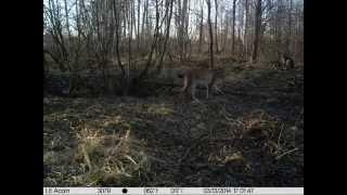 Семейство рысей в зоне отчуждения(http://chornobyl.in.ua/priroda-chernobylya-vesna-2014.html Рысь в чернобыльской зоне., 2014-05-12T09:59:43.000Z)
