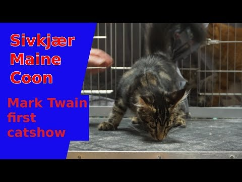 First catshow for Mark Twain the Maine Coon kitten.