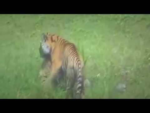 топ 10 нападений тигров на людей