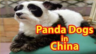 Panda Dogs in China