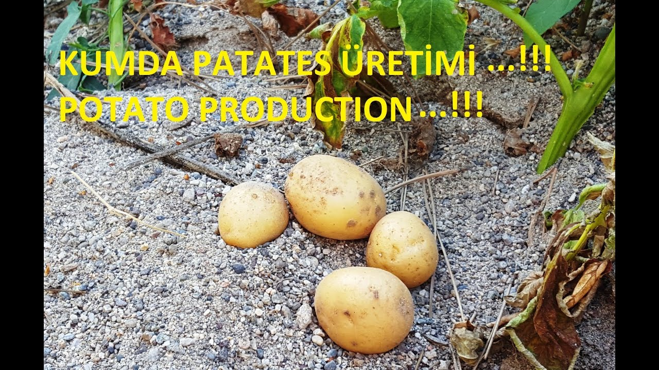 Patates İle Gül Fidelemek