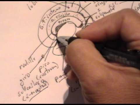 giros del cerebro pdf