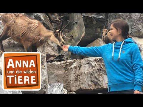 Im Kindergarten Der Gamsen Doku Reportage Fur Kinder Anna Und Die Wilden Tiere Youtube