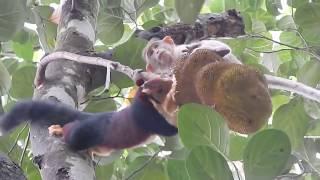 কাঠবিড়াল ও বানরের কাঁঠাল খাওয়ার দুষ্টুমি / Funny Monkey