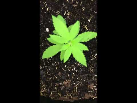 My First Indoor Cannabis Grow Ep 2... The Struggle Is Real !!!