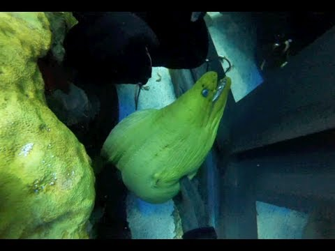 Caring for moray eels