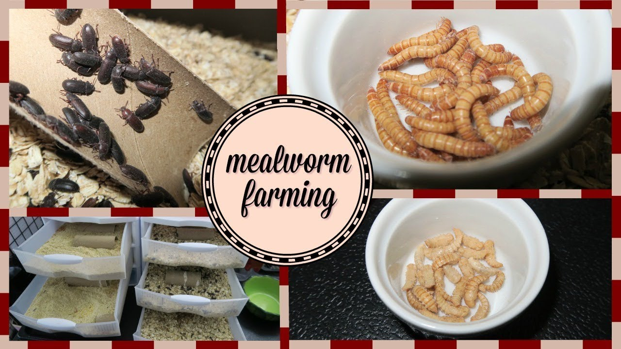 Mealworm Farming Set Up How To Breed Mealworms Youtube