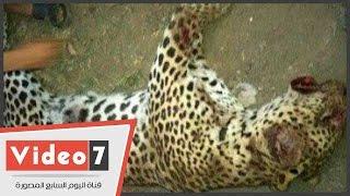 """مدير حديقة الحيوان: """"نمر العياط نادر ويقدر بأكثر من 50 ألف دولار"""""""