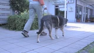 Gangbilder - Tierphysiotherapie dogsphysio von Sabine Harrer