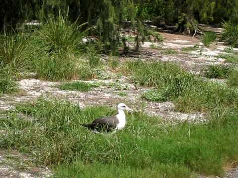 Midway atoll gooney bird
