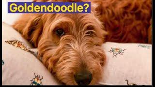 Goldendoodle ou Goldoodle? Que cão é esse?