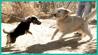 How to Introduce A Nęw Dog To Your Pack | Cesar Millan